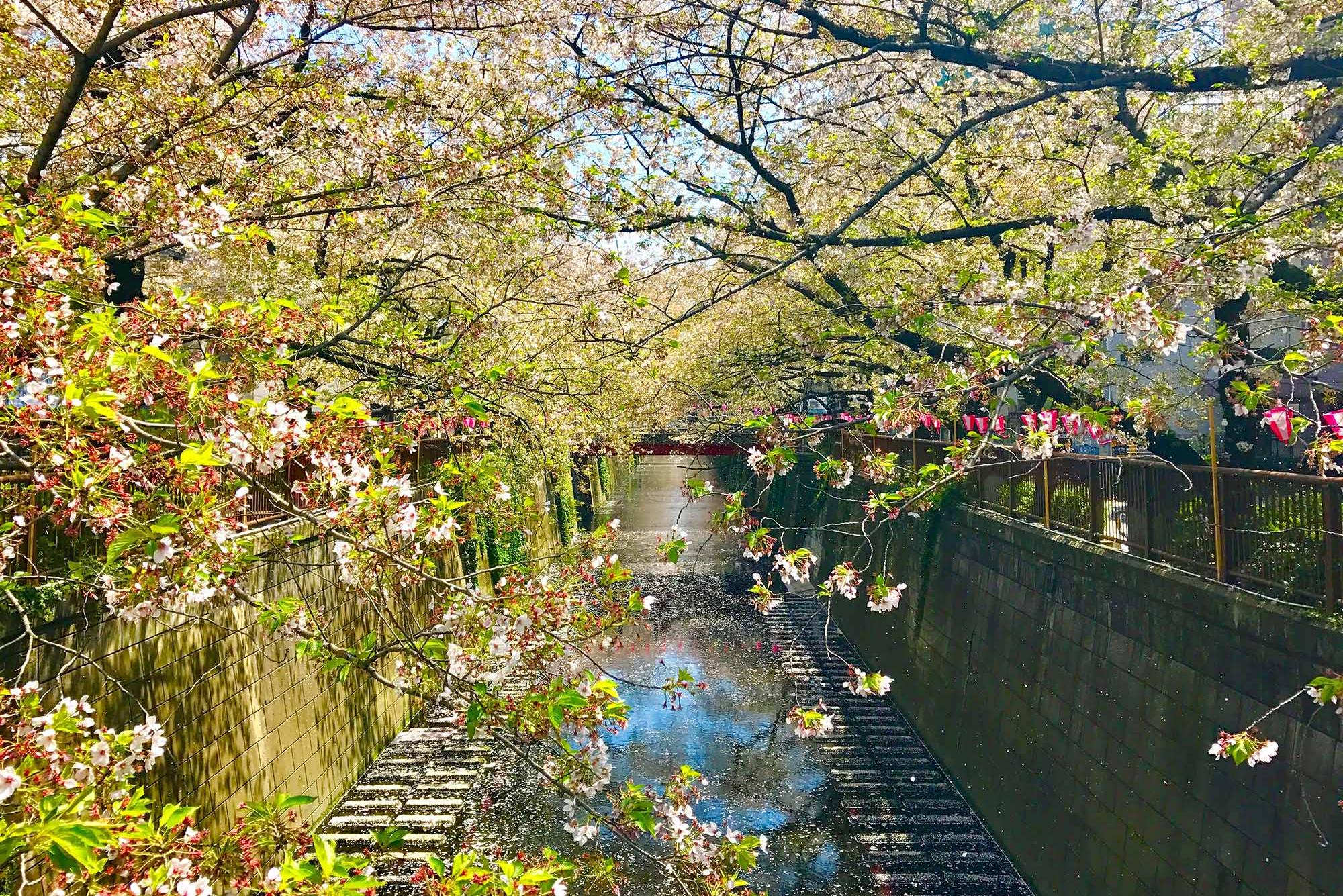 View of the cherry blossoms by a stream in Tokyo on a sunny day.