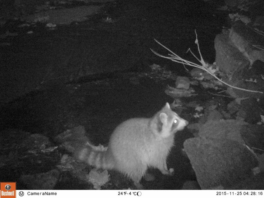 A nighttime photo of a raccoon using the Tookany Creek to get around campus.